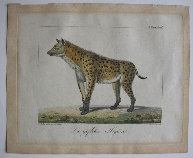 Gefleckte Hyäne Hyaenidae Tüpfelhyäne kolor Orig Kupferstich 1800