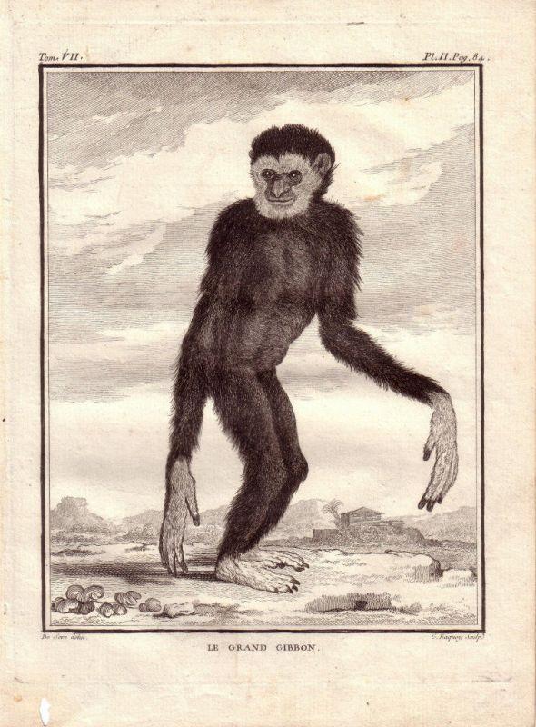Großer Gibbon  Kupferstich von Jacques Eustache de Seve 1780 Buffon Histoire