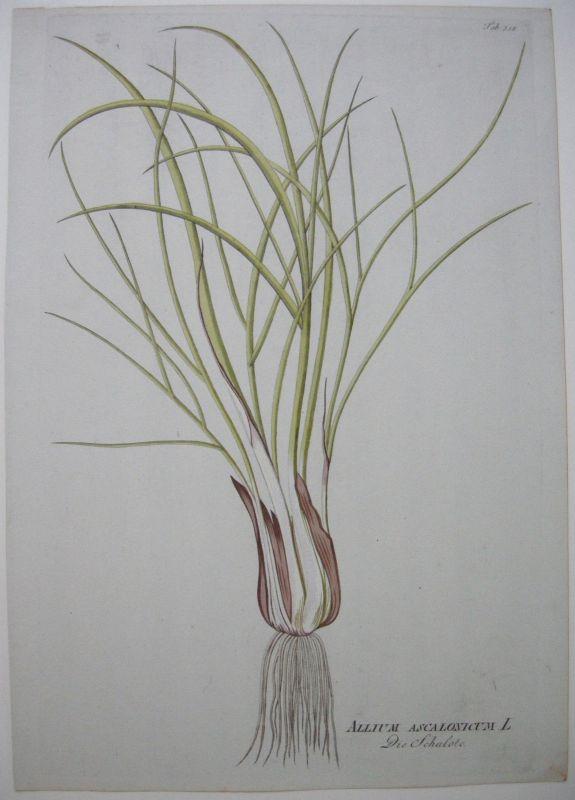 Schalotte Allium Ascalonicum kolor Kupferstich 1797