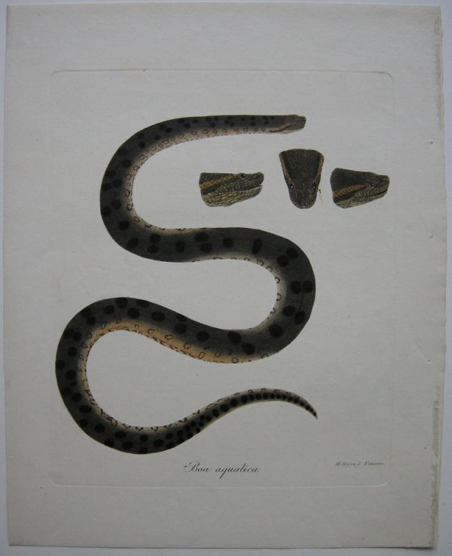 Boa aquatica AnacondaSchlangen kolor Orig Kupferstich H. Heßen 1780
