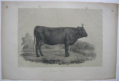 Egerlaender Schlag Rinderrassen Rind Orig Lithografie Hanfstaengl 1860 Zoologie