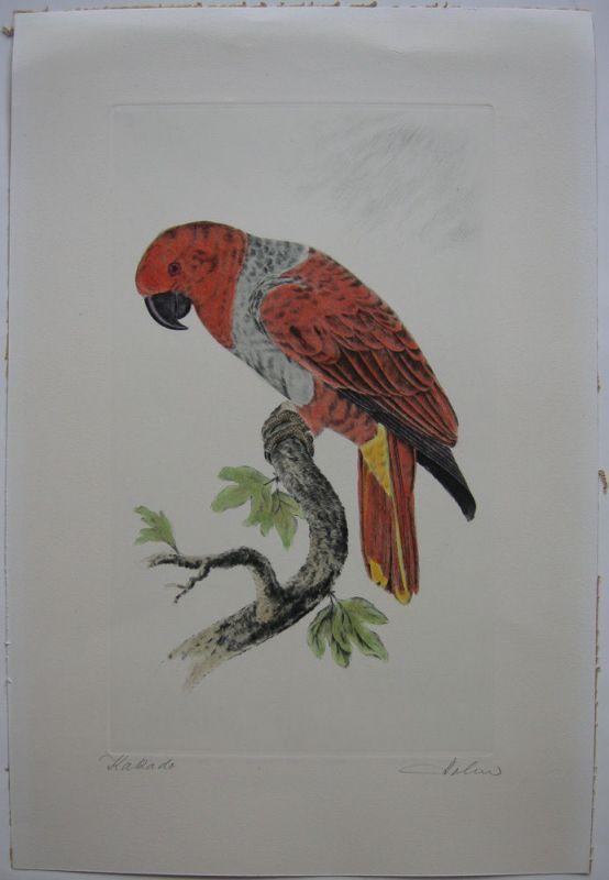 Kakadu Papagei Orig Farbradierung signiert Holm um 1960 Ornithologie