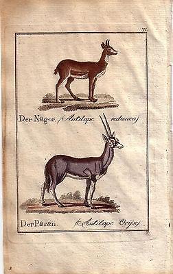 Antilopen Nagor Pasan Orig Kupferstich C. Seipp 1800
