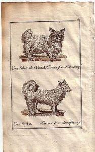 Sibirische Hund Spitz canis sibiricus Kolor Orig Kupferstich C. Seipp 1800