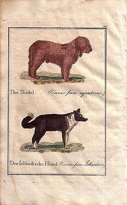 Pudel Isländer Hund  Kolor Orig Kupferstich C. Seipp 1800