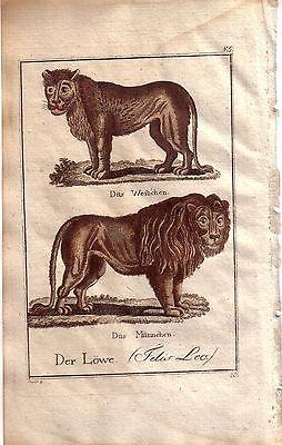 Löwe Löwin Felis Leo Kolor Orig Kupferstich C. Seipp 1800