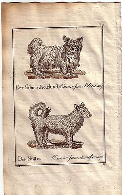 Bologneser Hündchen Spanische Wachtelhund Kolor Orig Kupferstich C. Seipp 1800