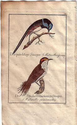 Prächtige Stachelschwänzige Sänger Orig Kupferstich C. Seipp 1800