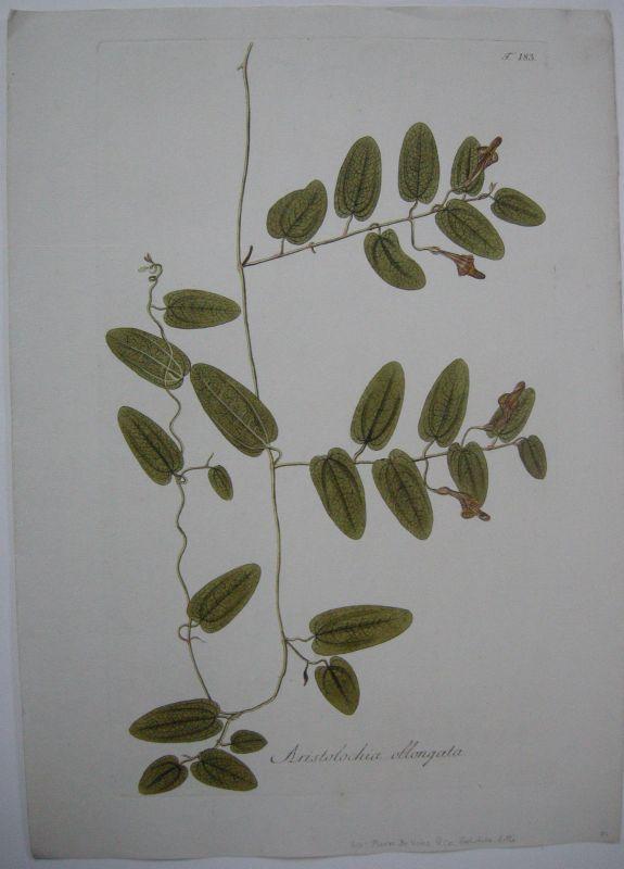 Pfeifenblume Aristolochia oblongata kolor Kupferstich 1797 Osterluzeigewächse