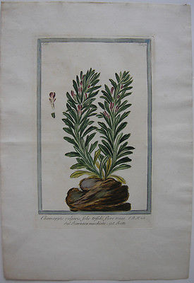 Gelber Günsel Chamaepitys handkolor Orig Kupferstich Hortus Romanus 1772