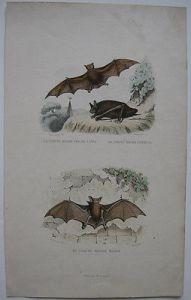 Fledermaus Vespertiliones Stahlstich Annedouche 1848 Brillenblattnase