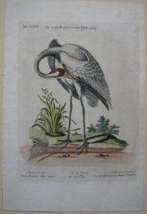Grus americana Kranich Hudsonbay kolor Orig Kupferstich 1749 Seligmann