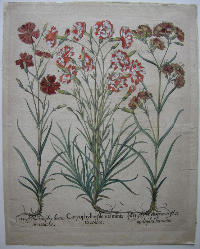 Nelken Caryophyllus plenus altkolor Kupferstich Besler Hortus Eystettensis 1613
