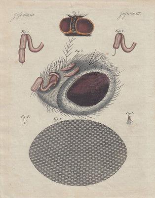 Fliege Auge Mikroskopische Darstellung kolor. Orig. Kuperstich 1800 Insekten