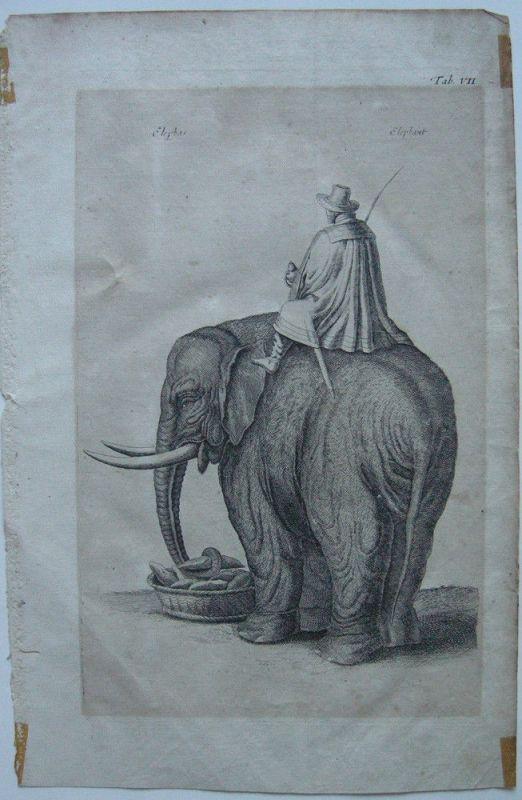 Elefant mit Reiter beim Füttern Orig. Kupferstich um 1800 Zoologie