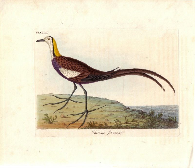 Chinesisches Blatthühnchen Jacana kolor Kupferstich um 1800 Jacanidae