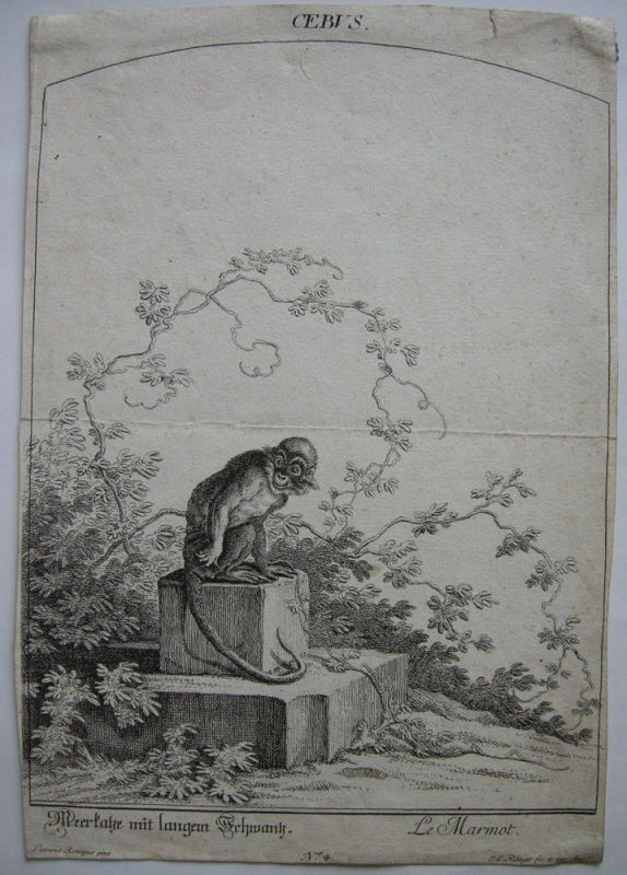 Kapuzineraffe Cebus albifrons Orig Kupferstich Ridinger um 1800