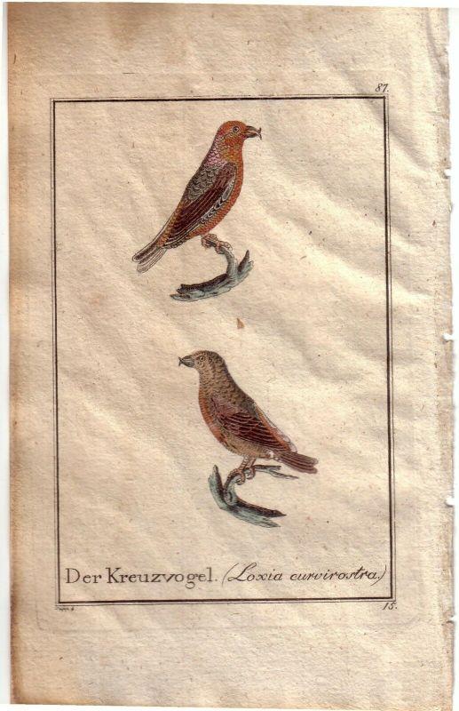 Der Kreuzvogel Loxia curvirostra Orig Kupferstich C. Seipp 1800 Ornithologie