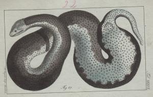 Amphibien Schlangen 12 kolorierte Kupferstiche von B.Siegrist 1800