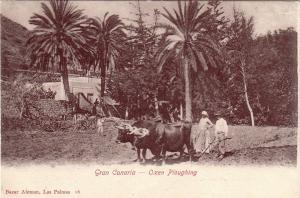Postal Gran Canaria Oxen Ploughing Canarias España postally unused 1910
