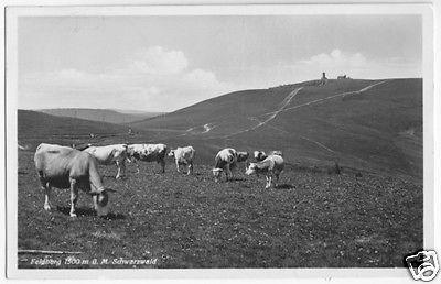 Ansichtskarte, Feldberg Schwarzwald, Gipfel und Kühe, 1937