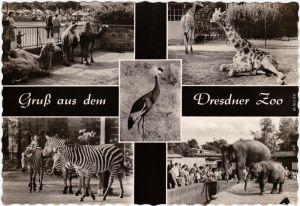 Foto Ansichtskarte Dresden 4B Dresdner Zoo, Giraffe, Zebra und Elefanten 1963