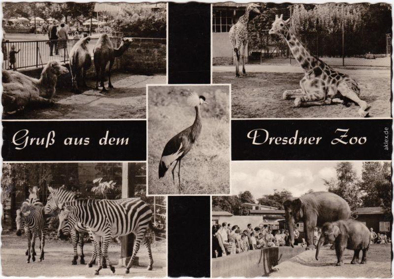 Foto Ansichtskarte Dresden Dresdner Zoo: Giraffen, Elefanteb, Zebra 1964