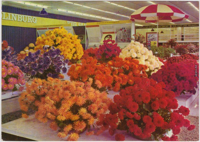 Erfurt IGA: Hallenschau, Dahlien; Internationale Gartenbauausstellung DDR 1970