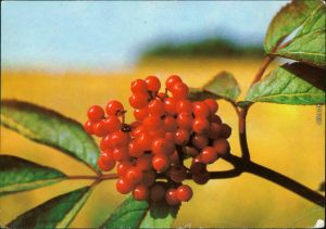 Ansichtskarte  Fauna / Pflanzen - Traubenholunder 1983