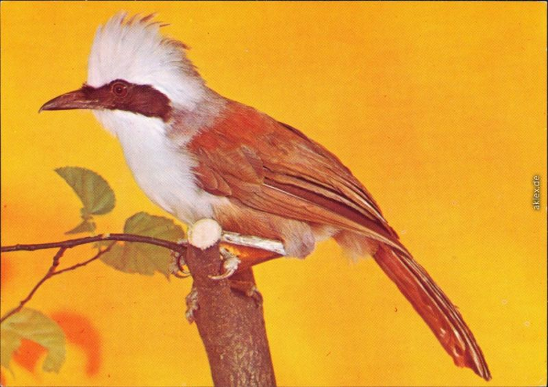 Ansichtskarte  Tiere - Vögel - Weißhaubenhäherling 1982