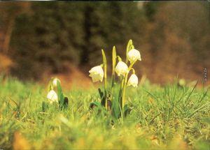 Ansichtskarte  Fauna / Pflanzen - Schneeglöckchen Bild Heimat Reichenbach  1995