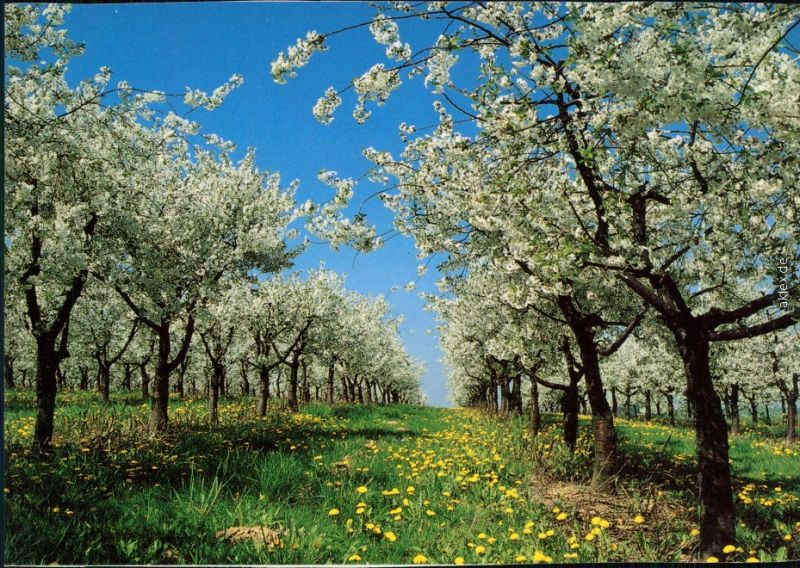 Ansichtskarte  Stimmungsbild: Frühling, Baumblüte 1995