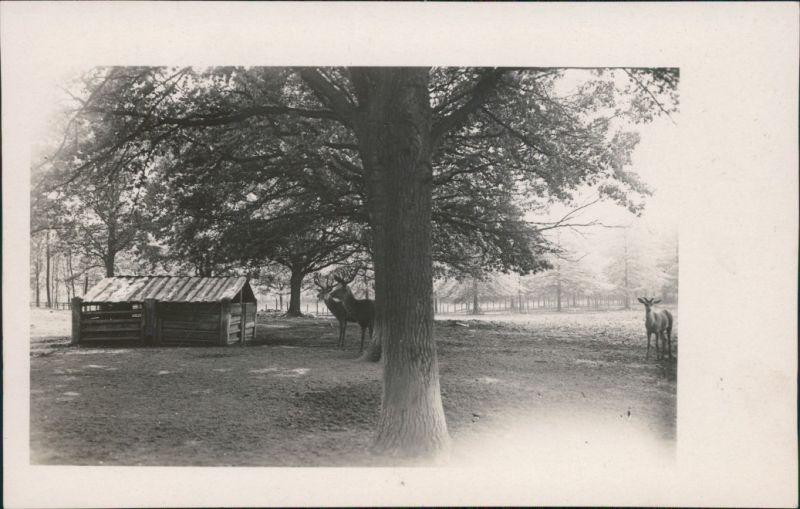 Foto  Wildgehege Hirsche Rehe 1929 Privatfoto