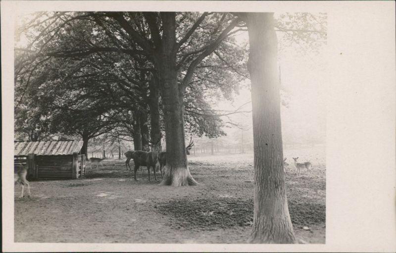 Foto  Wildgehege mit Hirschen und Rehen Kitze 1929 Privatfoto