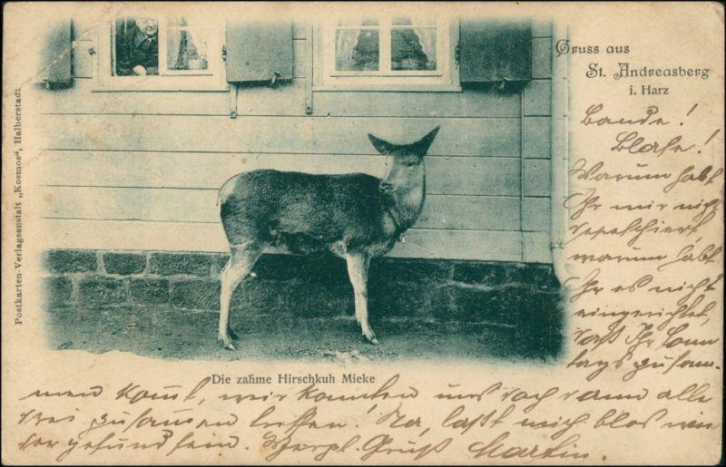 Sankt Andreasberg-Braunlage Tierpark Die zahme Hirschkuh Mieke 1909