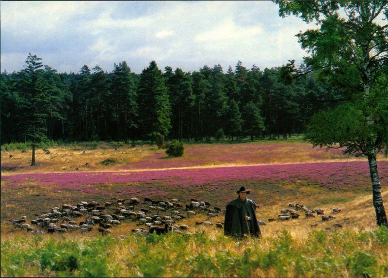 .Niedersachsen Heidschnucken. Schäfer in der Lüneburger Heide 1990
