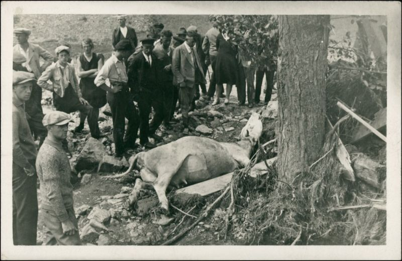 Foto  Menschen vor durch Baum erschlagender Kuh 1936 Privatfoto