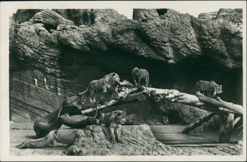 Stellingen-Hamburg Tierpark Hagenbeck - Offene Löwenschlucht 1929