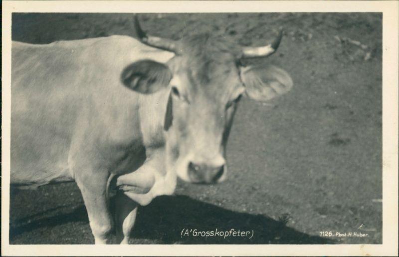Ansichtskarte  Ochse - A Grosskopfeter 1930