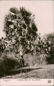 Ansichtskarte Sudan- Sudan Fauna Bäume Baum Doleib Tree onm the Dinder 1930
