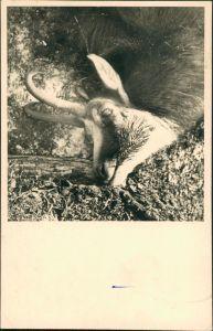 Tiere Tier vermutlich toter Steinbock, Jagd-Motiv (?) 1959 Privatfoto