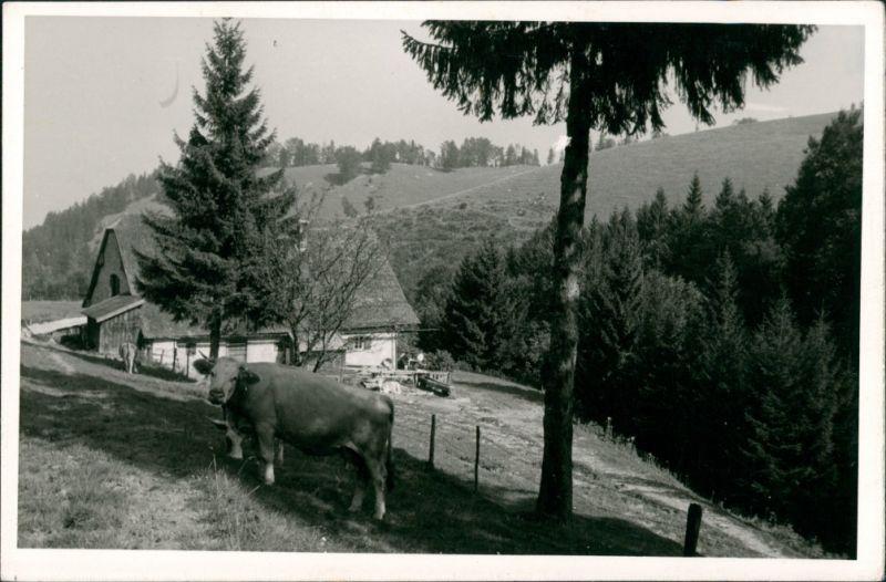 Grassau Kuh Weide Hefter-Alm Hefteralm bei Grassau Chiemgau Blick 1960