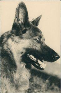 Foto  Tiere - Hunde Foto Schäferhund Dog Photo 1960 Privatfoto