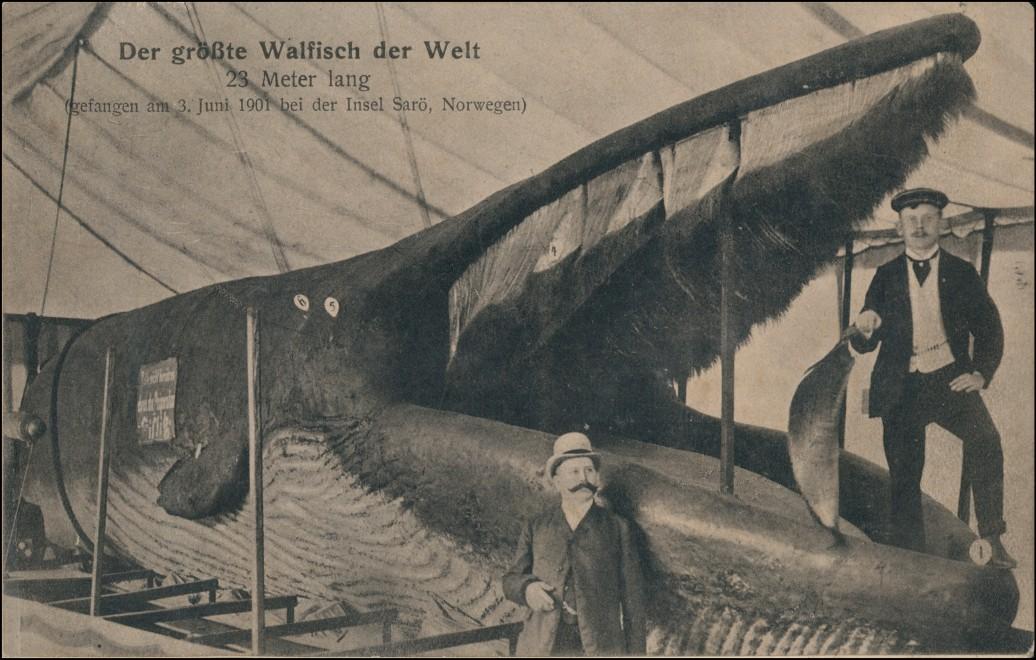 Der größte Walfisch Welt 23m gefangen am 3. Juni 1901 bei der Insel Sarö 1901 0