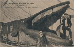 Der größte Walfisch Welt 23m gefangen am 3. Juni 1901 bei der Insel Sarö 1901