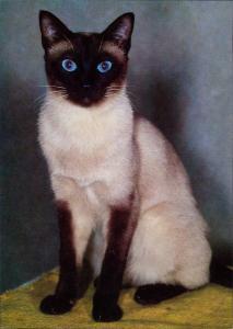 Tier: Khmer-Katze, weiße Kartze, schwarze Pfoten, blaue Augen 1980